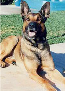 K9 Marko | Los Angeles County Sheriff's Department, California