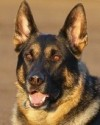 K9 Striker | Scottsdale Police Department, Arizona