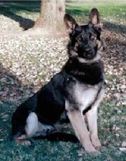 K9 Ado | Sacramento County Sheriff's Department, California