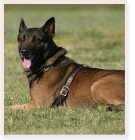 K9 Oozi | Broward County Sheriff's Office, Florida