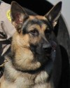 K9 Maco | Dinwiddie County Sheriff's Office, Virginia