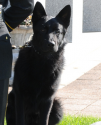 K9 Major | Orange Police Department, Connecticut