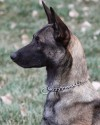 K9 Brunie | Kansas City Police Department, Missouri