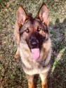 K9 Baron | St. Johns County Sheriff's Office, Florida