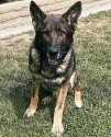 K9 Bruno | Anaheim Police Department, California