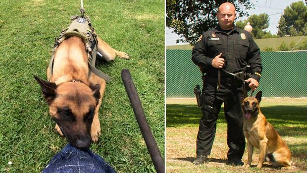 K9 Credo | Long Beach Police Department, California