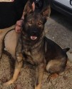 K9 Cain | Crossville Police Department, Tennessee