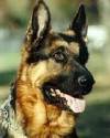 K9 Asko | Redding Police Department, California