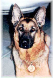 K9 Maverick | Sonoma County Sheriff's Office, California