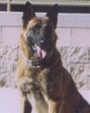 K9 Rex | Avondale Police Department, Arizona