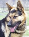 K9 Ingo | Albemarle County Police Department, Virginia