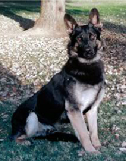 K9 Ado | Sacramento County Sheriff's Department, California