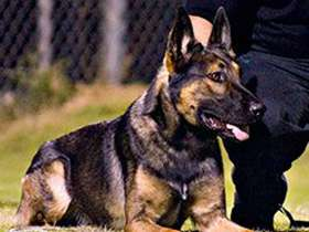K9 Sarge | Jacksonville Sheriff's Office, Florida