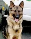 K9 Morgan | Mendocino County Sheriff's Office, California