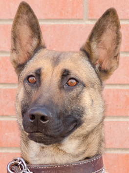K9 Petra | Colorado Springs Police Department, Colorado