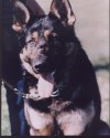 K9 Ado | Maricopa County Sheriff's Office, Arizona