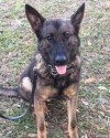 K9 Forest | Volusia County Sheriff's Office, Florida