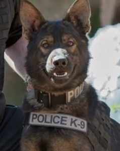 K9 Argo | Normandy Police Department, Missouri