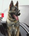 K9 Bodie | Sacramento Police Department, California