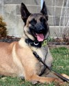 K9 Cade | Hendricks County Sheriff's Office, Indiana