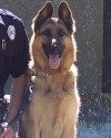 K9 Major | Roseville Police Department, Minnesota