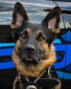 K9 Axe | St. Clair Shores Police Department, Michigan