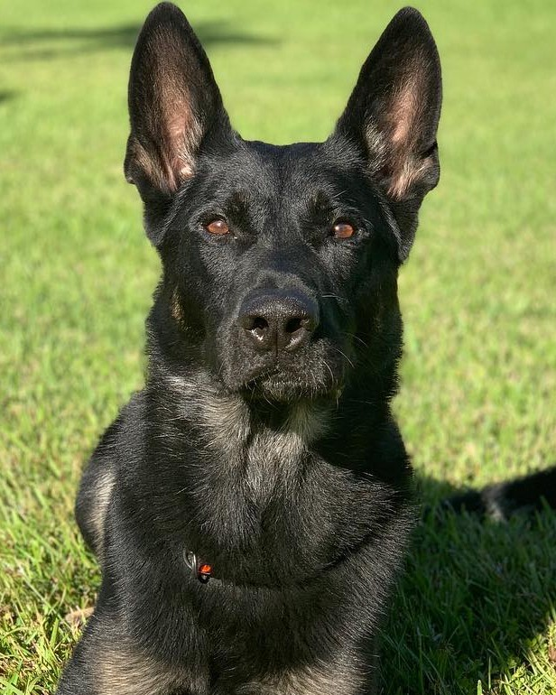 K9 Cigo | Palm Beach County Sheriff's Office, Florida