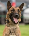K9 Haas | Duluth Police Department, Minnesota