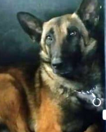 K9 Rambo | Greensboro Police Department, North Carolina