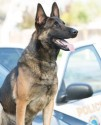 K9 Ozzy | Long Beach Police Department, California