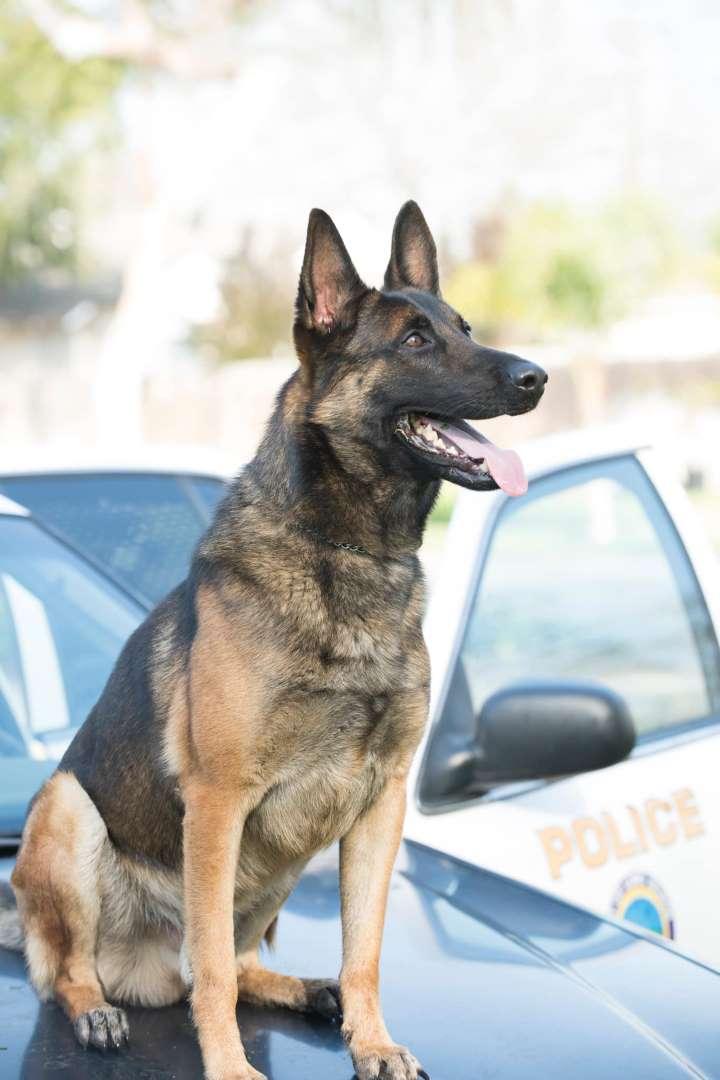 K9 Ozzy | Long Beach Police Department, California