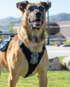 K9 Hondo | Herriman City Police Department, Utah