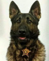 K9 Diesel | Bartholomew County Sheriff's Office, Indiana