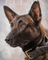 K9 Titan | Johnstown Police Department, Pennsylvania