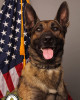 K9 Riley | Sacramento County Sheriff's Department, California