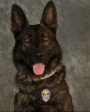 K9 Kozmo | Mesquite Police Department, Texas